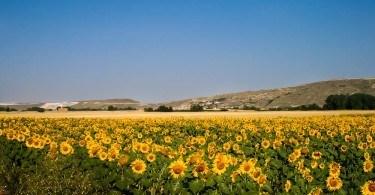 Sunflowers, The Meseta, Camino de Santiago