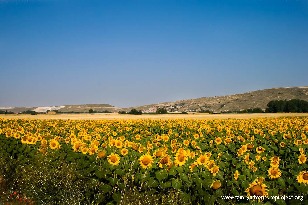 Sunflowers, The Meseta, Camino de Santiago