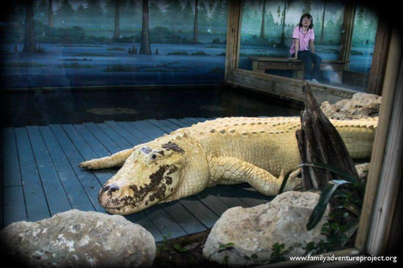White Alligator Gatorland Orlando Florida