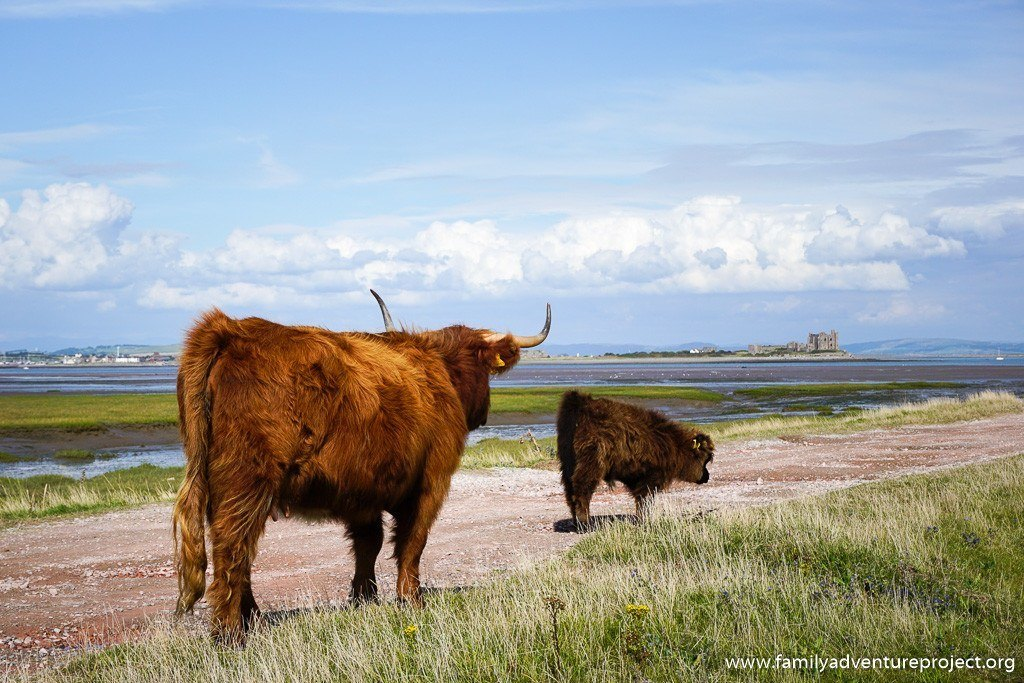 Cattle on South Walney Island Nature Reserve