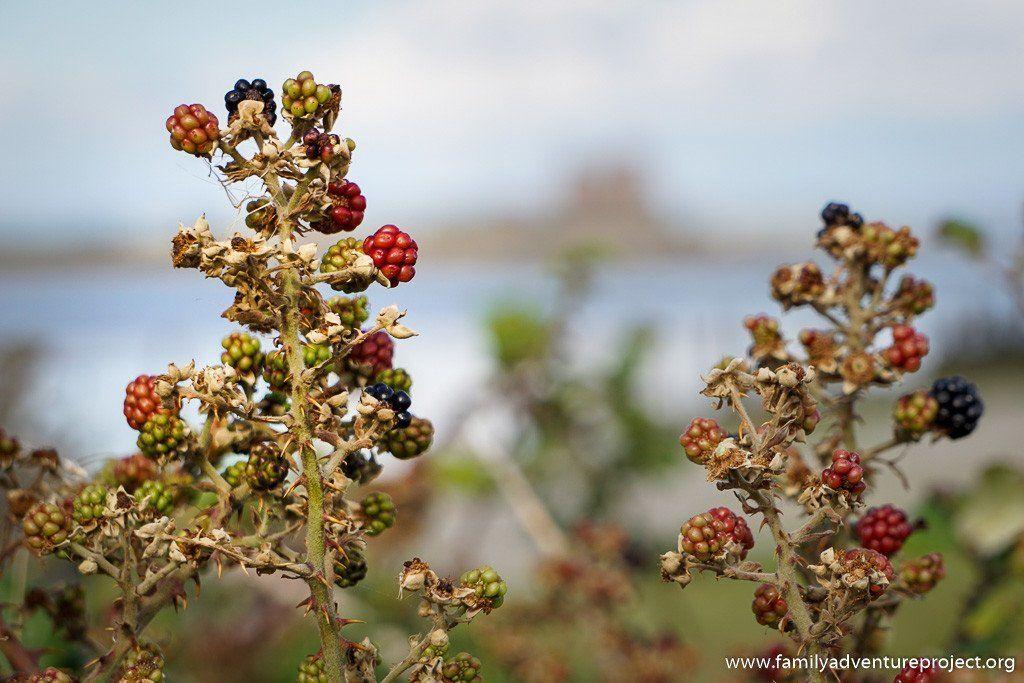 Blackberries ripening on Walney Island