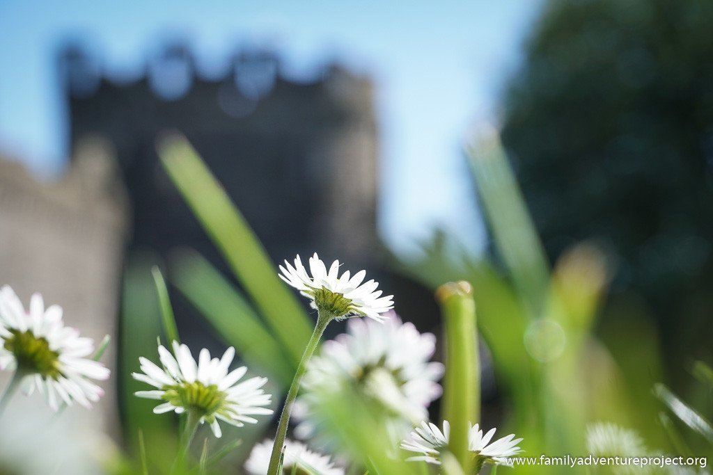 Daisies on the lawn at Beaumaris Castle