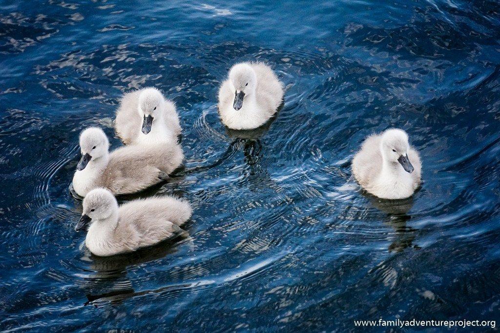 Cygnets swimming at Lakeside