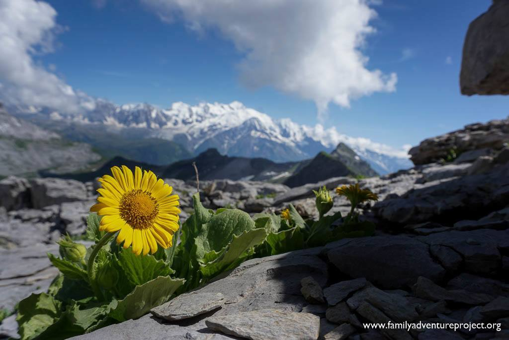 Yellow flower on mountain top in Flaine