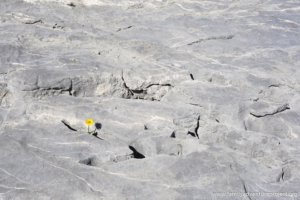 Flower grows in limestone at Grandes Platieres Flaine