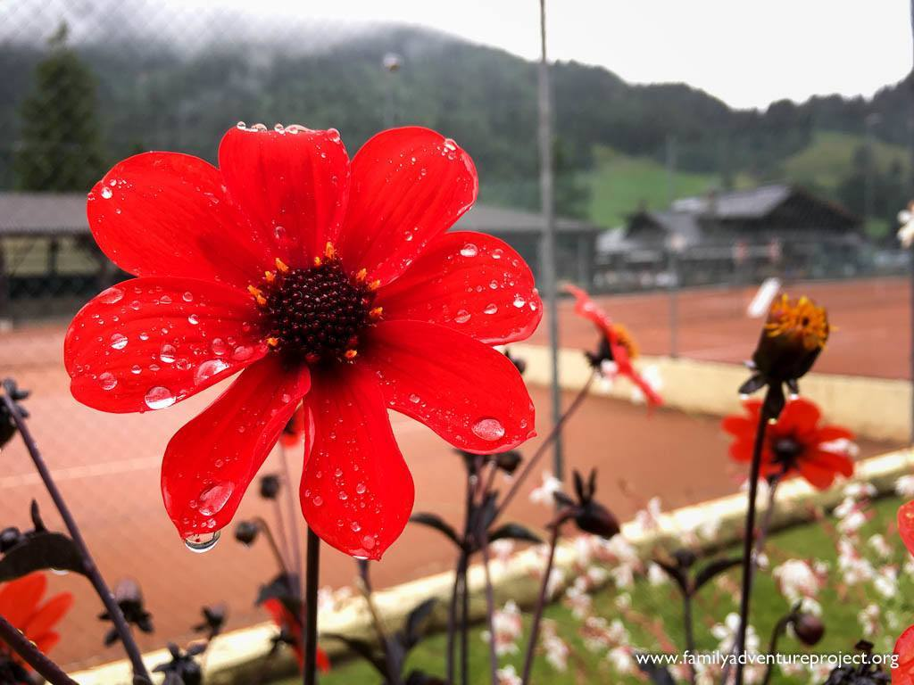 Pretty flower in front of tennis courts in Les DIablerets, Switzerland
